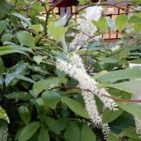 シラタマミズキ(白玉水木) コバノズイナ (小葉の髄菜) etc.