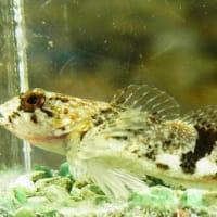 ウツセミカジカ(カジカ小卵型)を採る!:東海道中ガサ釣り記④