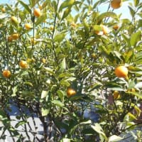 甘夏みかんの木が沢山の実をつけました。