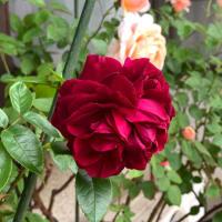 薔薇の花が咲いてきました