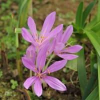 イヌサフランの花