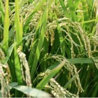 (2-2/3)玄米の必要性と炊き方(玄米の脳への働き)