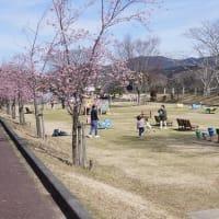「宮リバー度会パークの河津桜」見てきました~(^^)