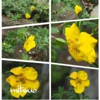 「金露梅の花が咲きました」 MY GARDEN 2019.07.15撮影