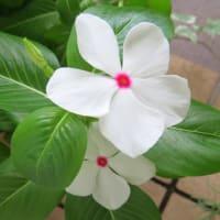 9月中旬のハイビスカスと寄せ植え鉢-N:9/15 ニチニチソウ切り戻し
