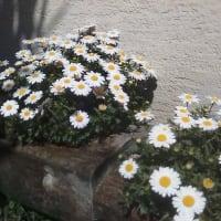 みちこガーデンとふくろうはうす事務所前の春の訪れ…( *´艸`)