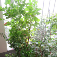 9/18 挿し木で咲いたルリマツリ