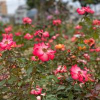 福山ばら公園は秋のバラが満開!iPhone 11-Proで撮ってみた