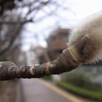 コブシ(辛夷)の冬芽