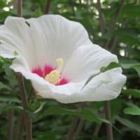 9/15 ムクゲの白い花