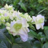 紫陽花「サプライズ」 5