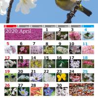 4月のカレンダー②できました! サクラの仲間を紹介してます!!