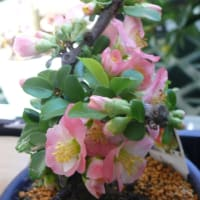 「世界の椿館・碁石」の咲き分けボケ・放春花'華宴' 2020年3月15日(日)