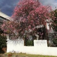 梅の開花 年々早くなっているようです
