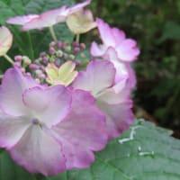 紫陽花「エンジェルワルツ」 6