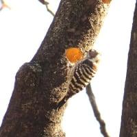 Cutie bird No.17 コゲラ