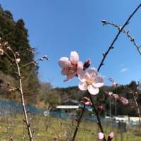 希望の花アーモンド開花!!!