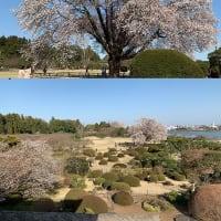 水戸の偕楽園、左近の桜