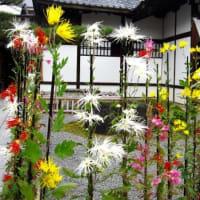 <嵯峨菊> 花は3段仕立て、下から7輪・5輪・3輪