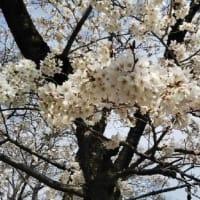 今年も桜が見れた(嬉しい)