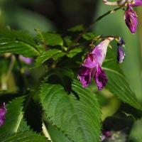 💖里山で・ピンクの花2種