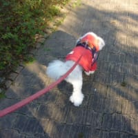 老犬ラスさん…疲れているのか?元気なのか?? ( ・◇・)?(・◇・ )