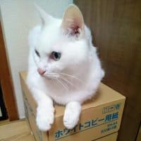 ホワイト猫onホワイトコピー紙ニャう。