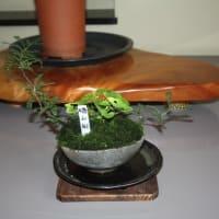 本日(7/25)の展示棚・・・「蓮華升麻」がセンターを飾っています。
