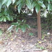 「ニッキの木」が大きくなってきたね。