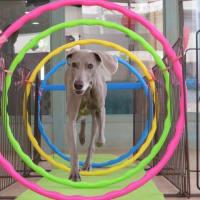 新入犬のチワワの【ロンちゃん】 犬のしつけ教室@アロハドギー
