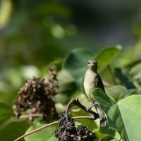 野鳥の好きな木の実 アカメガシワ