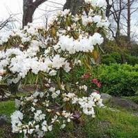 住吉公園 桜  2020.03.31
