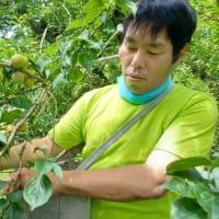 梅 収穫(しゅうかく)できました