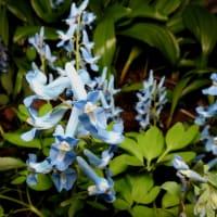 我が家の庭のマンサク 開花