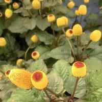 スピランサスタマゴボールの花は