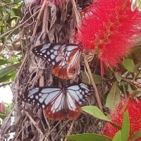 蝶々と紫陽花