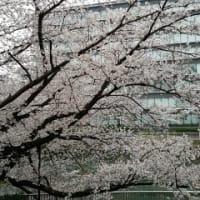 2020三月尽:日々の桜