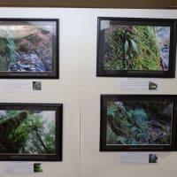 『山梨のシダ ~シダは美しい、と思う~』写真展が始まりました。