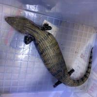 アオジタトカゲ頭胴長約25cm
