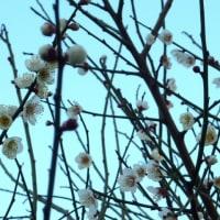 梅の花の季節