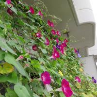 2020年10月前半のアサガオ:10/1~10/5~ 花がいっぱい!