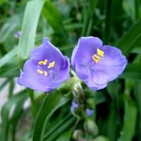 ムラサキツユクサ(青紫・白)