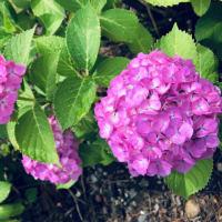 舞鶴城公園の紫陽花が見頃を迎えました。