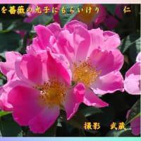 『 回生を薔薇の光子にもらいけり 』フォト花575交心zsv2107