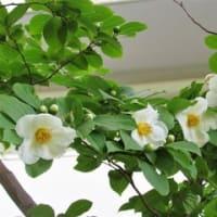 まだら模様の美しい樹皮、ナツツバキ の花散歩