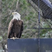 動物園・Bald eagle