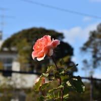 バラ 神奈川県鎌倉市 日比谷花壇大船フラワーセンター(4)バラ