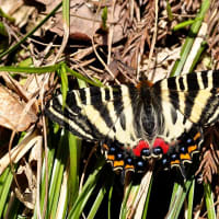 新潟の野蝶 ギフチョウ