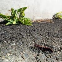 彷徨うツマグロヒョウモンの幼虫