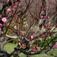 今年も蝋梅を撮りに大阪城へ